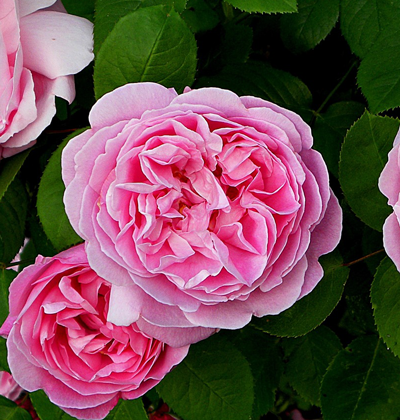 px_rose2